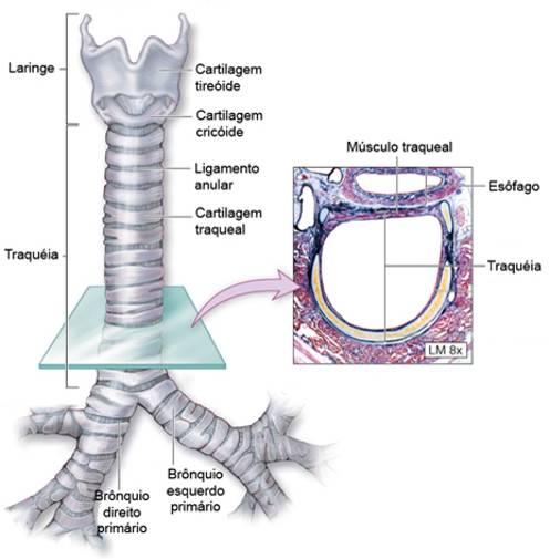 Estruturas da traqueia
