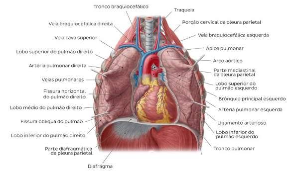 Principais estruturas dos pulmões