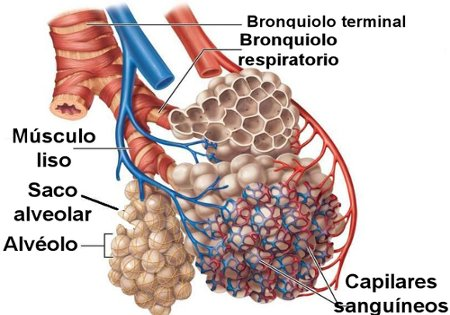 Bronquíolos terminais e bronquíolos respiratórios